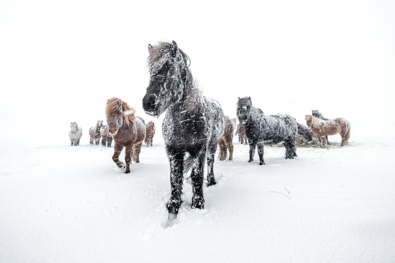 Horses in snow and snowstorm